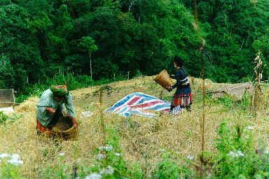 Récolte du riz pluvial
