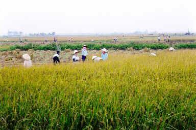 Récolte du riz dans le Delta du Fleuve Rouge