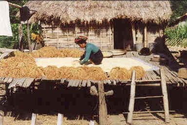Une femme Yaos sépare le riz de sa paille